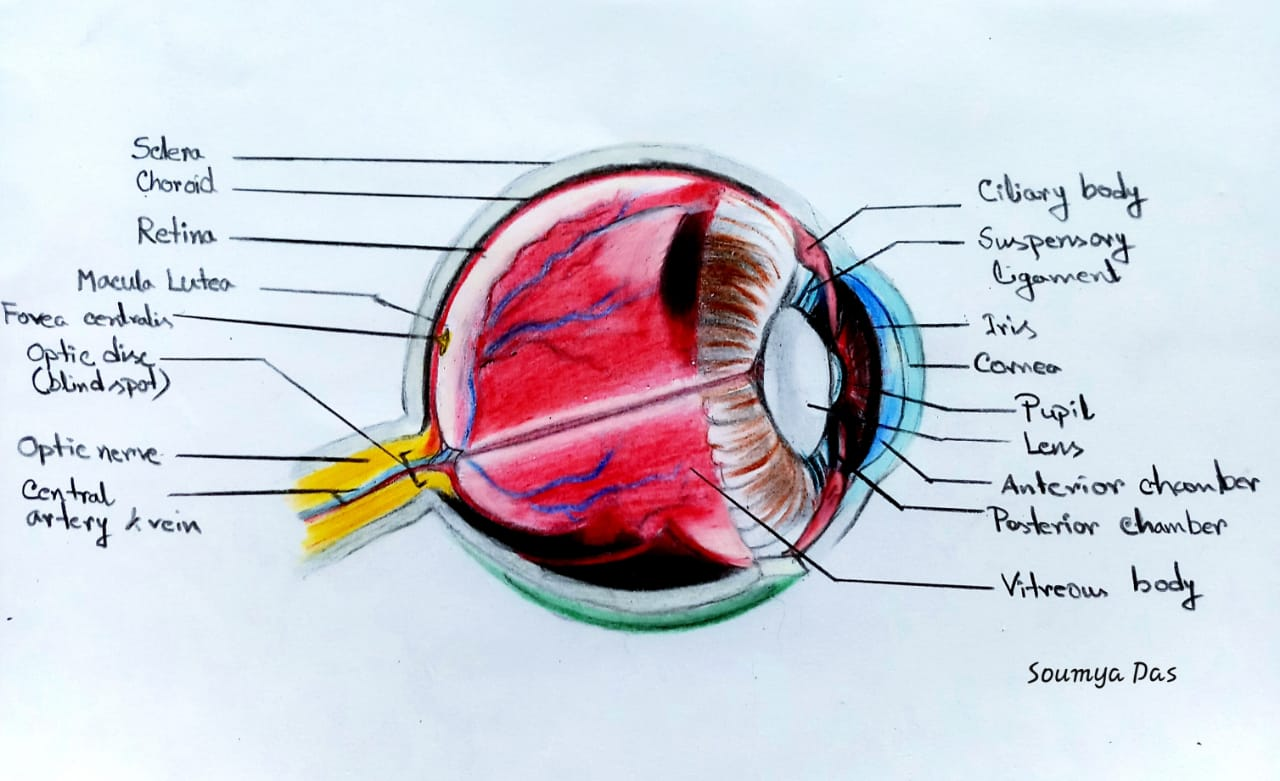 Components of the Eye's optical system